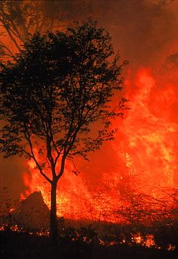 Forest fire Nagarahole NP, Southern India  -  Lockwood & Dattatri/ npl