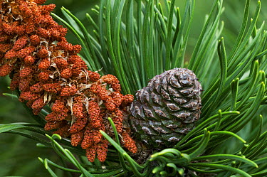 Male flowers and developing cone on Swiss Mountain Pine (Pinus mugo), arboretum, Belgium  -  Philippe Clement/ npl