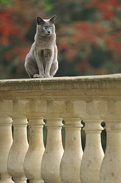 Male Burmese blue cat 'Boris' sitting on balustrade England  -  Niall Benvie/ npl