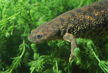 Sharp ribbed salamander (Pleurodeles waltl) Spain Yecla, Murcia  -  Jose B. Ruiz/ npl