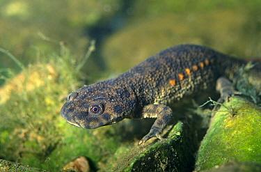 Sharp ribbed salamander (Pleurodeles waltl) Yecla, Murcia, Spain  -  Jose B. Ruiz/ npl