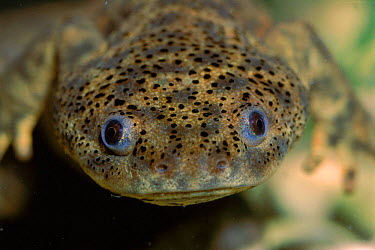 Head of Sharp ribbed salamander (Pleurodeles waltl) Spain Yecla, Murcia  -  Jose B. Ruiz/ npl