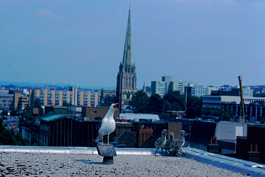 Lesser black backed gull with chicks on rooftop, Bristol, England  -  Barrie Britton/ npl