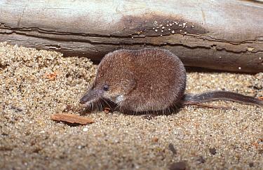 Lesser shrew (Sorex minutus) Poland  -  Artur Tabor/ npl