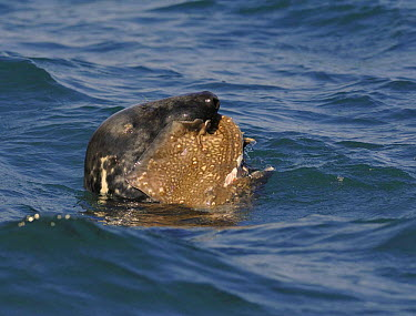 Grey Seal (Halichoerus grypus) eating a Thornback Ray (Raja clavata), Cardigan Bay, Wales, April 2007  -  Graham Eaton/ npl