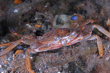 Swimming Crab (Liocarcinus depurator) Wales, UK, 2007  -  Graham Eaton/ npl