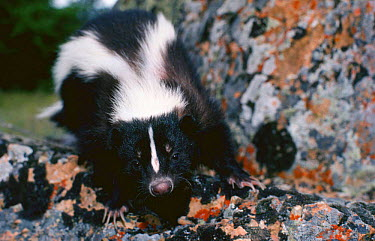 Striped Skunk (Mephitis mephitis) Montana, USA  -  Jeff Foott/ npl