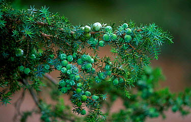 Prickly juniper with berries (Juniperus oxycedrus) Spain  -  Jose B. Ruiz/ npl