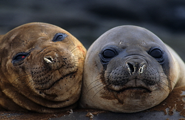 Two juvenile Southern elephant seals, Possession Is, Crozet, Sub-antarctic islands  -  Eric Baccega/ npl