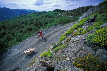 Aerial view of man cycling with domestic dogs, Samoyeds, on a mountain path  -  Adriano Bacchella/ npl