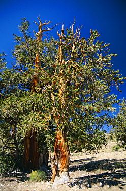 Bristlecone pine, ancient tree (Pinus aristata) White Mountains California USA  -  David Welling/ npl