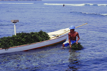 Harvesting seaweed (Agar agar) Lembongan, Indonesia  -  Peter Scoones/ npl