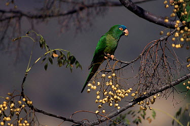 Blue crowned parakeet, conure feeds on Chinaberry, Bolivia (Aratinga acuticaudata neumanni)  -  Luiz Claudio Marigo/ npl