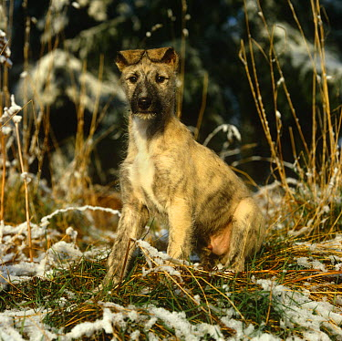 Lurcher (Deerhound x) 10-week portrait amongst frosty grass  -  Jane Burton/ npl