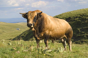 Aubrac bull in grazed mountain upland pasture landscape, C?zallier, Cantal, France  -  Jean E. Roche/ npl
