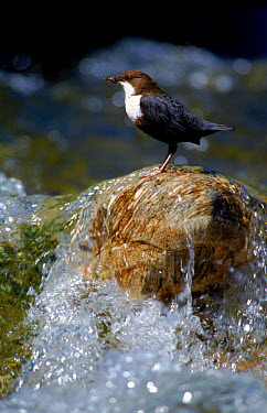Dipper at water, Burgundy, France  -  Jean E. Roche/ npl