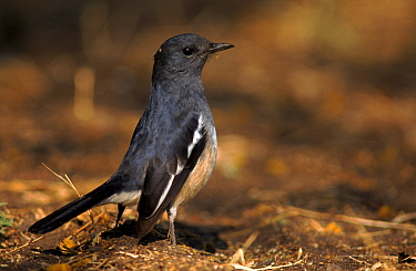 Magpie robin female, Keoladeo (Bharaptur) NP, India  -  Bernard Castelein/ npl