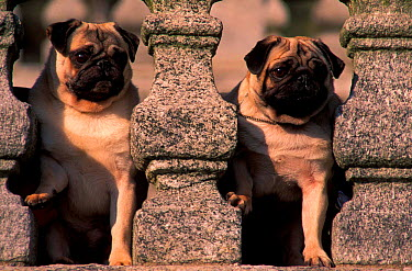 Two Pug dogs looking through stone balustrade, outdoors  -  Adriano Bacchella/ npl