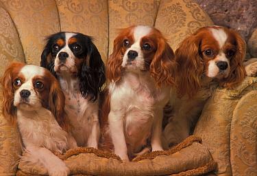 Four Cavalier King Charles spaniels sitting on armchair  -  Adriano Bacchella/ npl