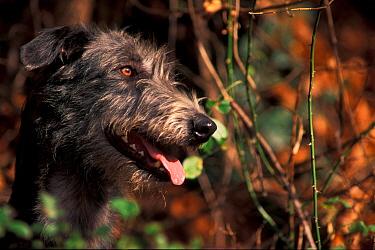 Deerhound  -  Adriano Bacchella/ npl