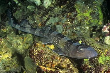 Whitespotted bamboo shark (Chiloscyllium plagiosum) Malapascua Island, Cebu, Philippines  -  Doug Perrine/ npl
