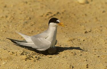 Saunders's, Black shafted tern (Sterna saundersii)incubating egg at nest on ground, Barr Al Hikman, Oman  -  Hanne & Jens Eriksen/ npl