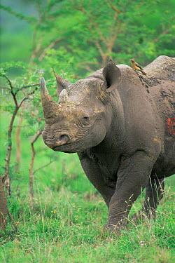 Black rhinoceros (Diceros bicornis) Hluhluwe Umfolozi Park, South Africa  -  Pat De La Harpe/ npl