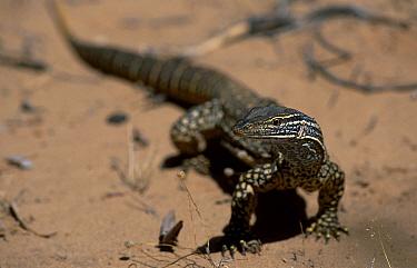 Gould's monitor (sand monitor) (Varanus gouldii) Kalbarri NP, Western Australia Murchison rive  -  Martin Gabriel/ npl