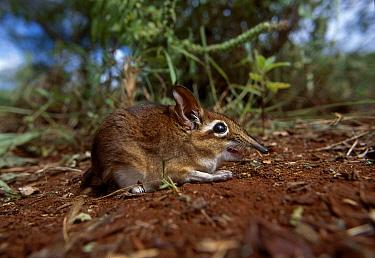 Rufous elephant shrew (Elephantulus rufescens) Tsavo NP Kenya  -  John Downer/ npl