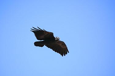 Fan tailed raven (Corvus rhipidurus), Kawkaban, Yemen  -  Hanne & Jens Eriksen/ npl