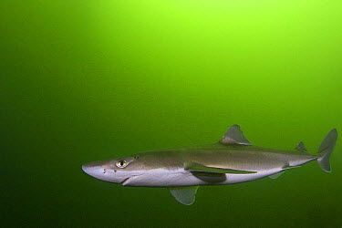 Spiny, Piked dogfish (Squalus acanthias) Tahsis Inlet, Discovery Passage, Vancouver Island, British Columbia, Canada  -  Doug Perrine/ npl