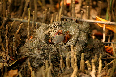Mud crab (Scylla serrata) emerging from its turret amongst mangrove, Trinidad, West Indies  -  Kim Taylor/ npl