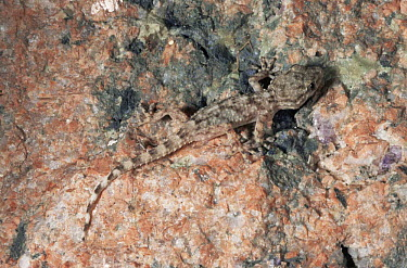 Juvenile Moorish gecko (Tarentola mauritanica) Italy  -  Fabio Liverani/ npl
