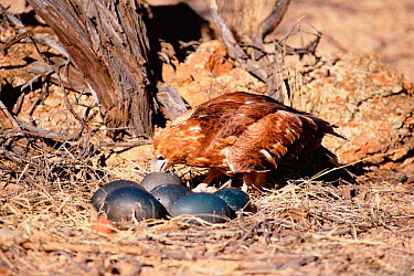 Black breasted buzzard kite feeds on Emu egg it has broken with stone Australia (Hamirostra melanosternon)  -  Dave Watts/ npl