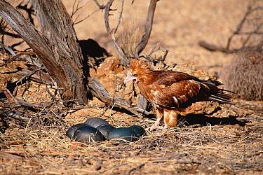 Black breasted buzzard kite carrying stone to break Emu eggs (Hamirostra melanosternon) Australia  -  Dave Watts/ npl