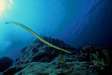 Sea snake (Hydrophidae) Indonesia  -  David Hall/ npl