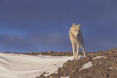 Grey wolf (white arctic form) Ellesmere Island, Canada  -  Jeff Turner/ npl