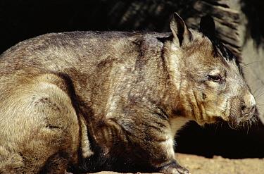 Northern hairy nosed wombat (Lasiorhinus kreffti), Queensland, Australia  -  Brent Hedges/ npl