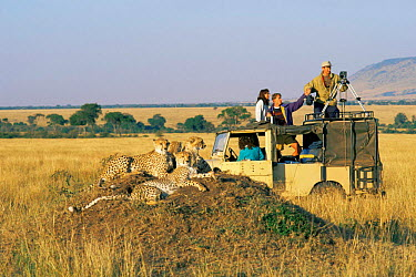 Cheetah family (Acinonyx jubatus) resting on termite mound and BBC film crew in landrover, Masai Mara Game Reserve, Kenya, East Africa  -  Simon King/ npl