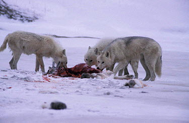 Grey wolves feed on caribou calf kill, Ellesmere (Canis lupus) White Arctic race Canada  -  Jeff Turner/ npl