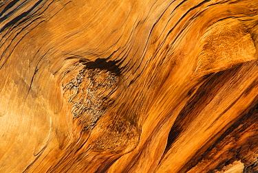 Bristlecone pine tree wood (Pinus aristata) White Mountain California USA  -  David Welling/ npl