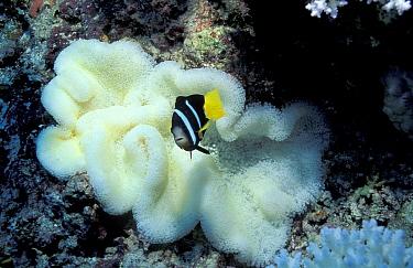 Bleached Carpet sea anemone (Stichodactyla mertensii) Anemone fish Maldives  -  Georgette Douwma/ npl