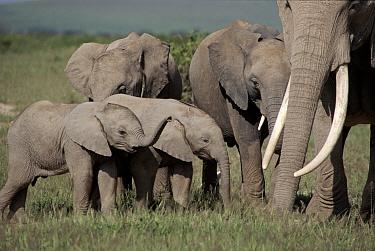 African elephant breeding herd Amboseli National Park, Kenya Cynthia Moss EB family study group the subject of Echo the Elephant  -  John Sparks/ npl