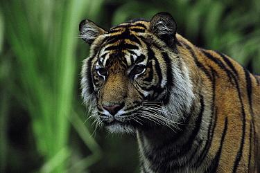 Sumatran tiger juvenile head portrait (Panthera tigris sumatrae) Indonesia  -  Barrie Britton/ npl