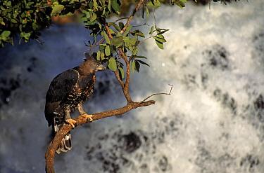 Crowned hawk eagle by waterfall, Zimbabwe Captive bird  -  Neil Lucas/ npl
