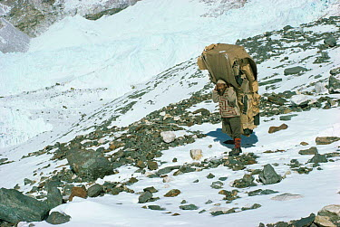 Nepalese porter carrying large load of wood up mountain, Himalayas, Nepal  -  Leo & Mandy Dickinson/ npl