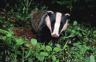Badger adult at night, summer, Devon, England, UK, (Meles meles)  -  Kevin J Keatley/ npl