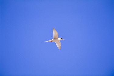 Roseate tern in flight (Sterna dougallii) Oman  -  Hanne & Jens Eriksen/ npl