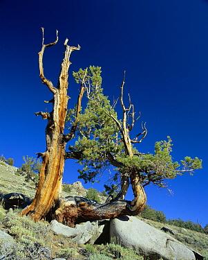 Bristlecone pine, ancient tree (Pinus aristata) White Mountain, California USA  -  David Welling/ npl