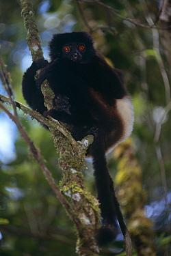 Milne Edward's sifaka (Propithecus diadema edwardsi) Ranomafana NP, Madagascar  -  Pete Oxford/ npl